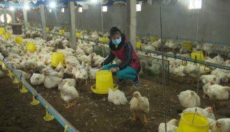 5 Phương pháp chăn nuôi gia cầm, gia súc vào thời điểm giao mùa