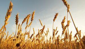 Australia tăng cường xuất khẩu lúa mạch sang thị trường Việt Nam