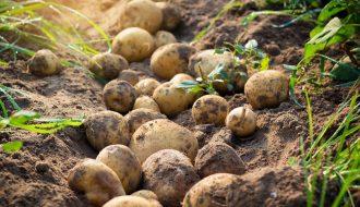 Bệnh mốc sương là gì? Biện pháp phòng bệnh mốc sương trên khoai tây