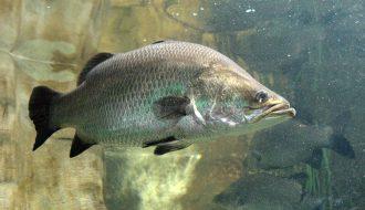 Bí quyết nuôi cá chẽm trong lồng đạt chất lượng, tăng năng suất