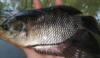 Bí quyết nuôi cá tai tượng hiệu quả, đạt chất lượng