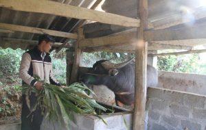 Biện pháp bảo quản thức ăn cho gia súc tốt nhất trong mùa mưa lạnh