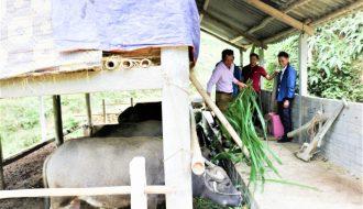 Biện pháp chống nóng cho đàn trâu, đàn bò khi thời tiết nắng nóng
