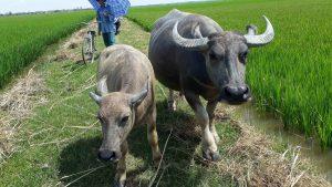 Biện pháp phòng ngừa và điều trị bệnh hà móng ở trâu bò