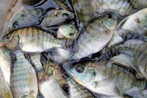 Phát hiện và phòng trị một số bệnh trên cá rô phi thương phẩm