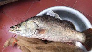 Cá vược trắng và lợi ích kinh tế mà nó đem lại khi nuôi