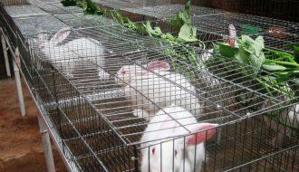 Các loại giống cỏ nuôi thỏ năng suất cao và chứa nhiều chất dinh dưỡng