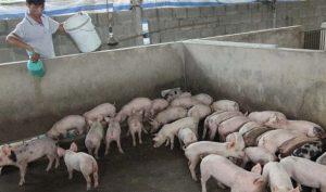 Cách chăn nuôi heo từ lúc bắt đầu đến khi xuất chuồng