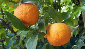 Cách để cam quýt ra hoa trái mùa mà không cần lạm dụng thuốc kích thích