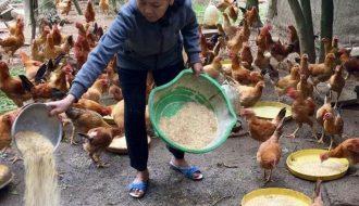 Cách làm thức ăn tự trộn cho gà đẻ tại nhà chỉ với 4 bước đơn giản