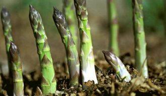 Cách phòng ngừa và trị các bệnh cho cây Măng tây xanh
