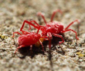 Cách xử lý triệt để nhện đỏ bằng biện pháp sinh học