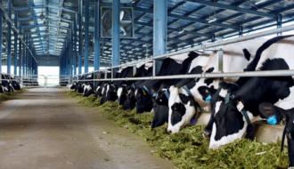 Chăn nuôi bò sữa - Một số vấn đề cần lưu ý để đàn bò khỏe mạnh