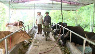 Chia sẻ kỹ thuật chăn nuôi trâu của các nhà nông tại Việt Nam
