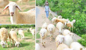 Đặc điểm nhận biết bệnh tụ huyết trùng ở dê và cừu