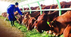 Đặc trưng tiêu hóa ở bò và những dạng thức ăn tăng trọng nhà nông nên biết