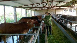 Giới thiệu phương thức chăn nuôi bò thịt cho năng suất cao nhất