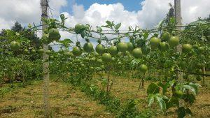 Hà Lan là quốc gia chính cung cấp nguồn rau quả cho thị trường châu Âu