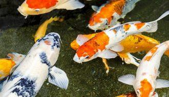 Những dấu hiệu và cách trị bệnh lồi mắt ở cá Koi