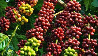 Kỹ thuật chăm sóc đúng cách vườn cây cà phê sau thu hoạch