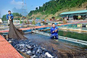 Kỹ thuật nuôi trồng và chăm sóc cá theo mô hình cá lồng ở Hải Dương