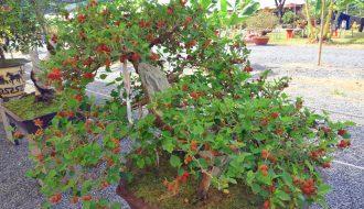 Kỹ thuật và hướng đi trồng cây dâu tằm lấy quả cải thiện kinh tế