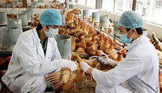 Những lưu ý khi cho vật nuôi sử dụng thuốc phòng dịch bệnh