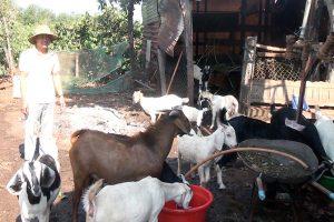 Những nguồn thức ăn và điều kiện sinh hoạt của dê nhà nông nên biết