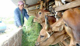 Phương pháp chăm sóc bò cái mới sinh một cách hiệu quả