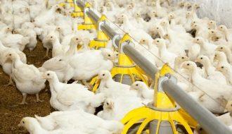 Phương pháp hạn chế kháng sinh trong chăn nuôi gia cầm, gia súc