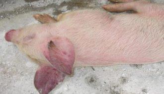 Phương pháp phòng và chống bệnh tai xanh ở lợn