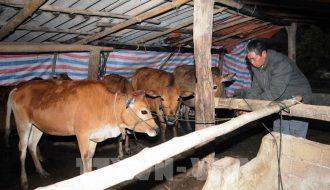 Phương pháp phòng và trị bệnh thường gặp ở gia súc trong mùa mưa, rét