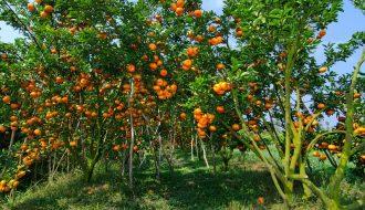 Phương pháp phục hồi nhanh chóng vườn cam, quýt khi bị vàng lá