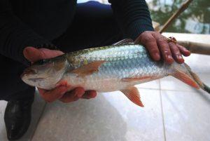 Thu về hàng tỷ đồng từ việc nuôi cá bỗng hiệu quả