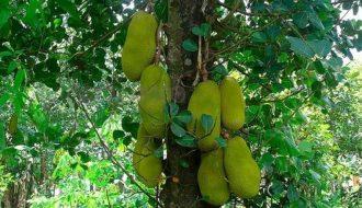 Tìm hiểu cách sử dụng phân bón lá sinh học cho cây mít
