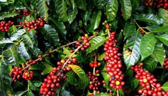 Tình hình sản xuất và xuất khẩu cà phê ở nhiều nước trên thế giới