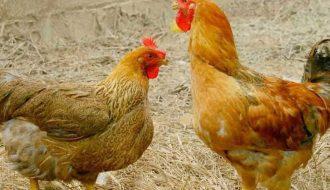 Tổng hợp 3 bệnh thường gặp ở gà và giải pháp điều trị bệnh hiệu quả