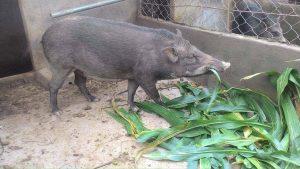 Top 8 giống cỏ nuôi lợn rừng năng suất cao, tốt nhất hiện nay