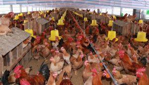Vai trò quan trọng của thận đối với chăn nuôi gia cầm nhà nông nên biết