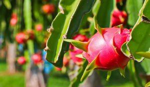 Xử lý triệt để bệnh đốm trắng gây hại trên cây thanh long